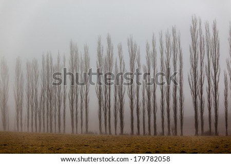 Trees Lines Mist Vertical Winter Mist covers line of vertical trees