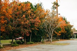 Trees lining a parking lot in full fall autumn color with the leaves orange, red and green and beginning to fall to the ground