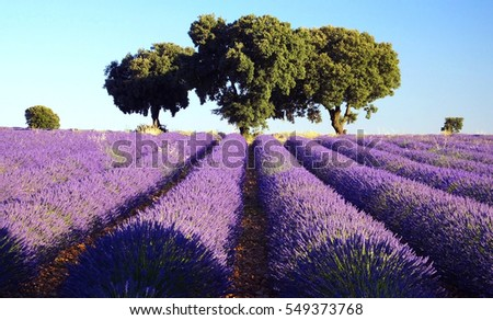 Shutterstock Trees on a lavender fields