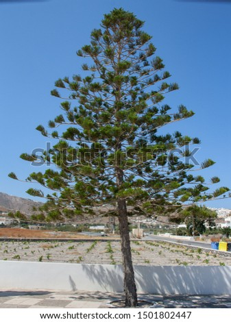 Trees on Santorina  - Araucaria heterophylla #1501802447