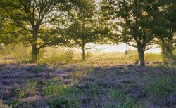 Trees on the heathland backlit by the rising sun.