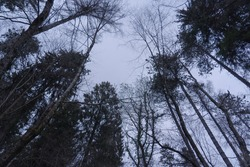 Trees seen from below in a mountain night forest