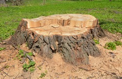 Trees stump with green grass in the forest
