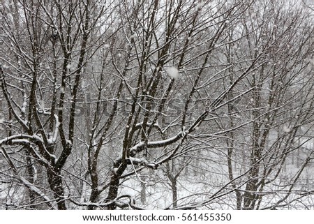 Trees while snow flurry. Winter background. #561455350