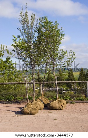Trees whose root systems are done up with burlap at a nursery or garden center.