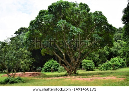 Trees with branching branches in national park of Bangladesh