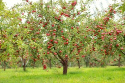 Trees with red apples in an orchard