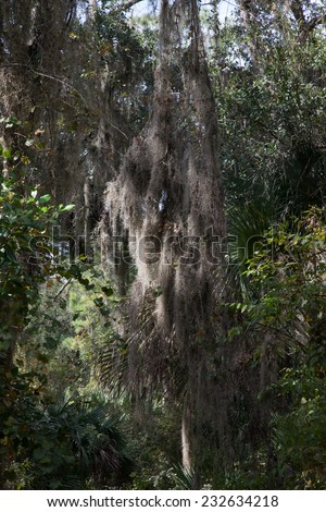 Trees with Spanish Moss in the Southern USA