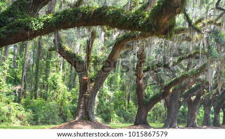 trees with spanish moss ...