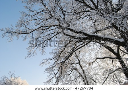 TREES WITH WHITE FROST 2