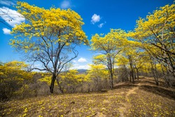 Trees with yellow flowers and blue sky, of guayacan in flowering season. Ecuador, Loja