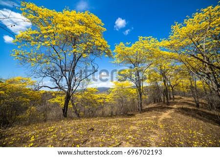 Trees with yellow flowers and blue sky, of guayacan in flowering season. Ecuador, Loja #696702193