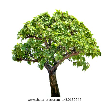 Treetop green leaf tropical timber tree isolated garden, verdant leaves brown wood forest, hardwood botany lumber plant woody branches park. #1480130249