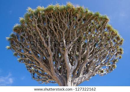Treetop of a Dragon Tree (Dracaena Draco) in Icod de los Vinos, Tenerife, Canary Islands.