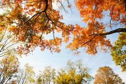 Treetops in full autumn color