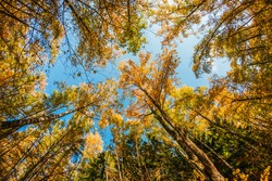 treetops in the autumn forest. photographed on a fisheye lens