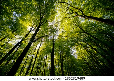 Treetops of beech (fagus) and oak (quercus) trees in a compact german forest near Göttingen on a bright summer day with fresh green foliage, strong trunks and boles seen from below in frog perspective Foto stock ©