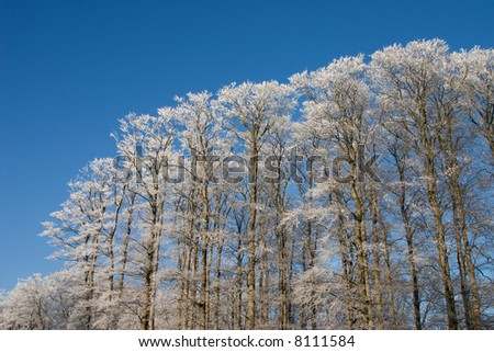 Treetops with white frost