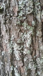 treetrunk with lichens. closeup of tree bark.