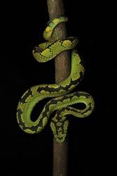 Tremeresurus trigonocephalus Srilankan green pit viper Endemic to Srilanka