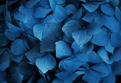 Trend color 2020 classic blue, top view, layout for design.Hydrangea  flower in trendy blue color. Trendy color concept of the year, classic blue background.