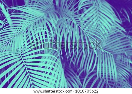 trendy design, nature and background concept - close up of ultra violet and blue duotone palm tree leaves