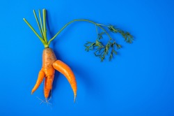 Trendy ugly organic carrot with the halm from home garden on on a blue background, unnormal vegetable or food waste concept, copy space