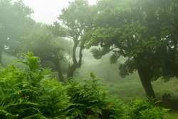 Tress in the mist at Fanal Madeira Island, misty old trees and thick vegetation