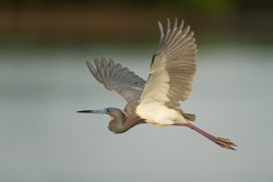 Tri-Colored Heron In Flight Florida