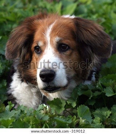 Tri coloured dog with floppy ears.  Close up head shot in greenery.