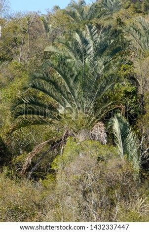 Triangle Palm endemic of Madagascar