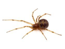 Triangulate cobweb spider isolated on white background, Steatoda triangulosa