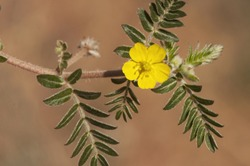 Tribulus terrestris goats head, bullhead donkey caltrop small caltrops cats head eyelashes devils thorn devils weed puncture vine tackweed plant with yellow florets and pricked fruits natural llight