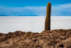 Trichocereus cactae in bright sunlight on Isla Incahuasi in the Salar de Uyuni, Bolivia