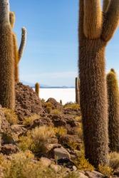 Trichocereus cactae in bright sunlight on Isla Incahuasi, Salar de Uyuni, Bolivia