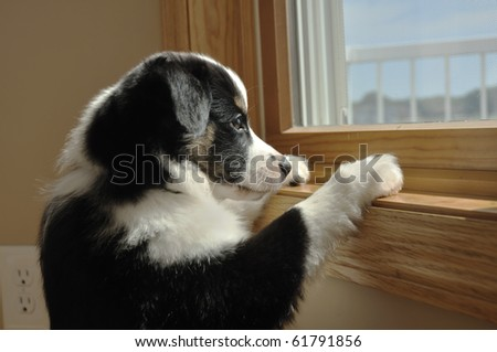 Tricolor Australian Shepherd (Aussie) Puppy Looking Out a Window