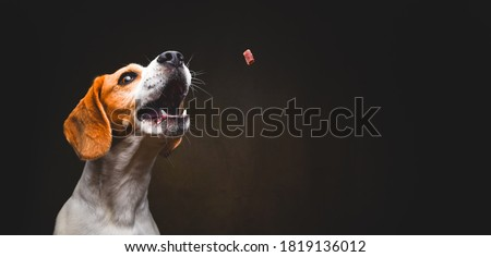 Tricolor Beagle dog waiting and catching a treat in studio, against dark background. Canine theme Stock photo ©