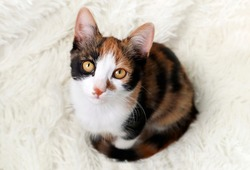 Tricolor calico cat on a light background. The kitten is a symbol of good luck and prosperity , a money cat.