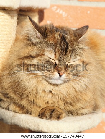 tricolor cat on the scratching post, female of siberian breed