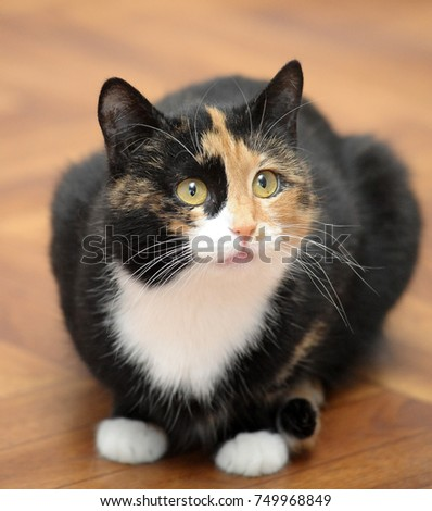 tricolor cat sitting on the floor #749968849
