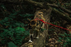 tricolor cat walks in the woods in the afternoon in the summer with a red leash. pet in the wild.