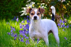 Tricolor danish swedish framdog with green grass and bluebell flowers background