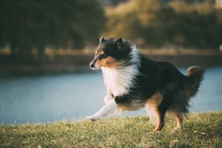 Tricolor Rough Collie, Funny Scottish Collie, Long-haired Collie, English Collie, Lassie Dog Running Outdoors In Autumn Day.
