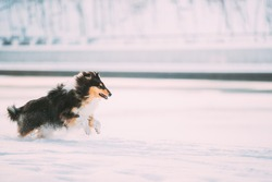 Tricolor Rough Collie Funny Scottish Collie, Long-Haired Collie, English Collie, Lassie Dog Fast Running Outdoor In Snowy Park At Winter Day. Active Dog Play In Snow Snowdrift. Playful Pet Outdoors.