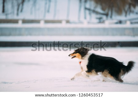 Tricolor Rough Collie Funny Scottish Collie, Long-Haired Collie, English Collie, Lassie Dog Fast Running Outdoor In Snowy Park At Winter Day. Active Dog Play In Snow. Playful Pet Outdoors