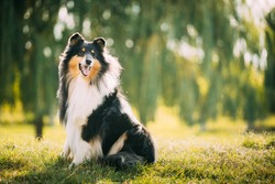 Tricolor Rough Collie, Funny Scottish Collie, Long-haired Collie, English Collie, Lassie Dog Posing Outdoors In Park.