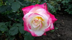 Tricolour, snow white-hot pink-pale yellow rose contrasting with the shrub dark green foliage and ground. Flamboyant, bicolor white rose, having magenta petal edges against shrub dark green leaves.