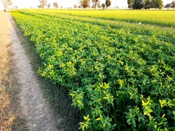 Trifolium alexandrinum or annual clover crop in cultivated field in subtropical region.