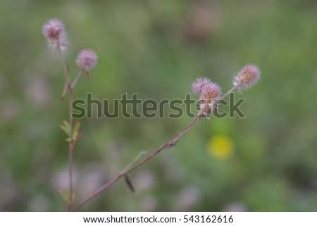 Trifolium arvense, hare's-foot clover, rabbitfoot clover, stone clover or oldfield clover