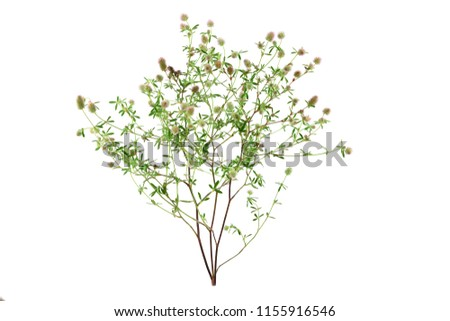 Trifolium Arvense Herbal Plant. Also Hare's-Foot, Rabbitfoot, Stone or Oldfield Clover. Isolated on White Background.